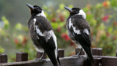 Baby magpies ready to fly beyond the garden fence.