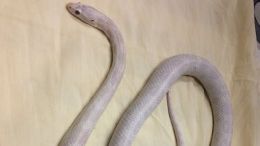 This American corn snake was seized by Biosecurity Queensland officers in Griffin, near Strathpine.
