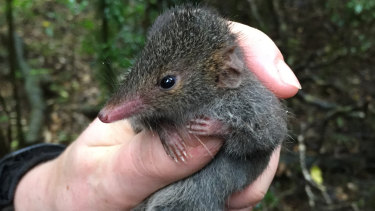 A male black-tailed dusky antechinus.