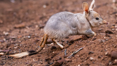 "The bilby is a threatened species and the area was found as ""likely to contain suitable habitat""."