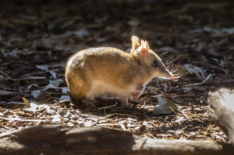 Eastern barred bandicoots are no longer extinct in the wild