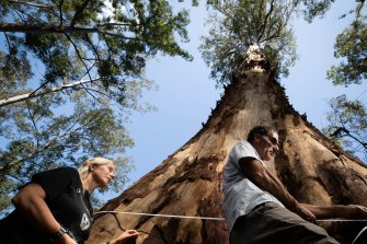 Conservation activists Joslyn van der Moolen and Nick Hopkins measure the girth of the known tallest spotted gum in the South Brooman State Forest in NSW. The area was burnt by bushfires last summer but it is still being logged.