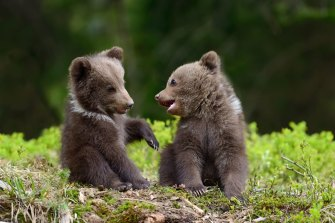 California's wildlife has diagnosed neurological diseases in bear cubs that have been friendly to humans.
