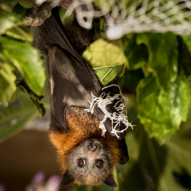 A flying fox hangs tangled in fruit-tree netting.