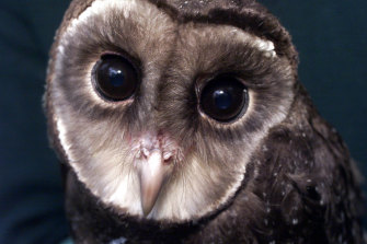 About a quarter of Victoria's sooty owls have been lost.