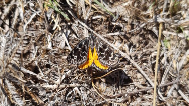 A female golden sun moth at Macgregor.