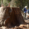 'Ridiculous': Government sits on forestry report as logging resumes
