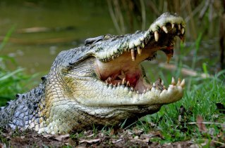 "The crocodile: ""The rest of the world sees Australia as this exotic frontier with the deadliest animals""."