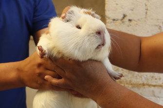 Maria del Carmen Pilapana chooses a guinea pig at a farm in San Jose de Taboada, Ecuador.
