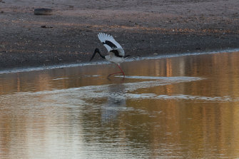 A jabiru wades near Marlinja, north of Elliott in the Northern Territory. Anti-fracking protesters say the threat to groundwater and biodiversity in the territory has not been properly accounted for.