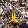 'On a mission': the peculiar life of the endangered golden sun moth