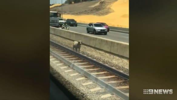 Runaway sheep shot on Kwinana freeway after evading capture