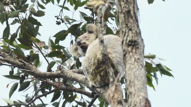 Hanging on: Port Macquarie wildlife rescuers located two koalas near the top of a tree in one patch that escaped fires in the area.