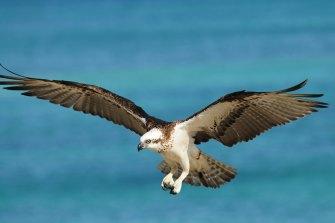 Female ospreys live longer than their mates.