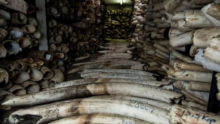 Poaching trophies recovered from traffickers are stored in a warehouse at Zimbabwe National Parks headquarters in Harare.