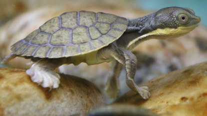 Armed with goggles and snorkels, a couple of canoeists saved a rare turtle from extinction