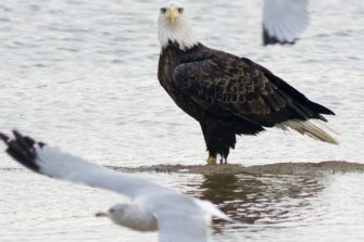 A bald eagle watches a seagull in Gibson County, Indiana.