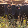 AACo back in the black on rising Wagyu beef sales