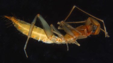 One of the new species of arachnid discovered living underground in WA's Pilbara.
