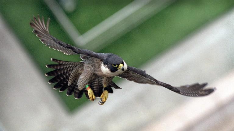 A peregrine falcon flies between city buildings.
