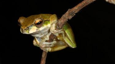 Kroombit tree frog
