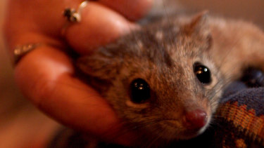 A northern quoll, being held by quoll breeder Trish Mason.