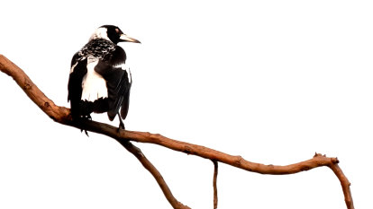 Why do magpies swoop, and how can you avoid it?