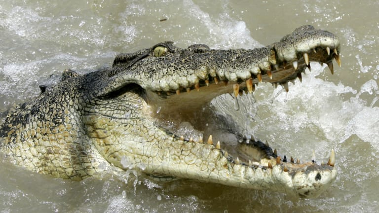 A crocodile shows aggression as a boat passes by, in a file picture.
