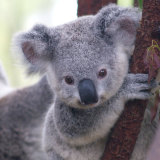 Australia's failure to address the decline of threatened species, such as koalas, reflects poorly on its international reputation, the committee said.
