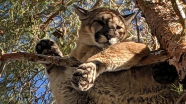 A mountain lion, or cougar, spotted in California earlier this year.