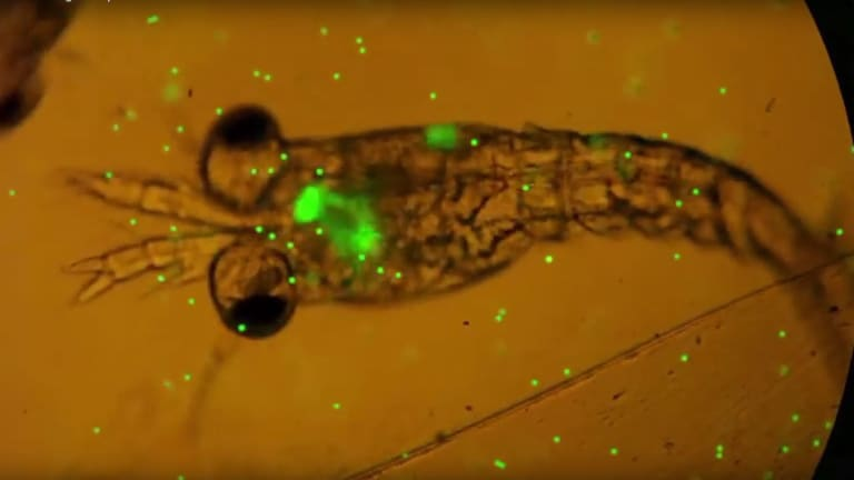 Plastic ingested by a plankton is shown in fluro green.
