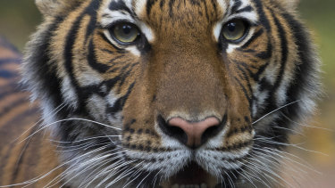 Nadia, a Malayan tiger at the Bronx Zoo in New York, has tested positive for the new coronavirus. Six other tigers and lions also appeared sick.