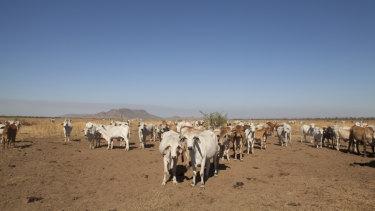 Kimberley cattle