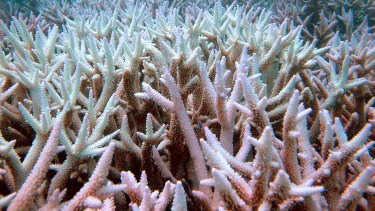 Fish swim among bleached coral in the Great Barrier Reef.