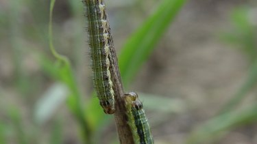 Invasive pest species fall armyworm has been discovered on the Australian mainland for the first time, with a confirmed case in far north Queensland