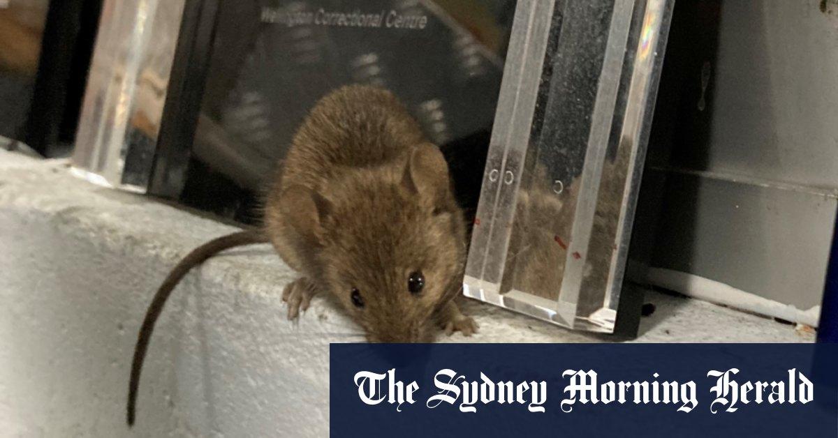 Mouse plague forces evacuation of NSW prisoners