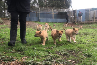 Some of the bumper crop of dingo pups at the sanctuary.