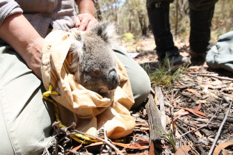 An injured koala is rescued in the Blue Mountains.