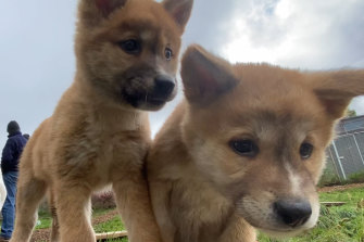 Dingo pups at play.