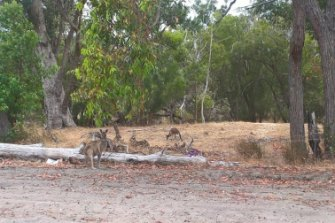 A mob of 60 kangaroos set to be killed to make way for development in Baldivis.