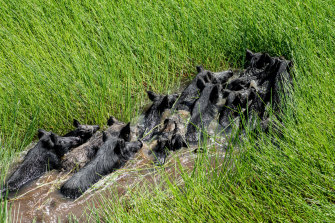 Feral pigs threaten native species and the environment.