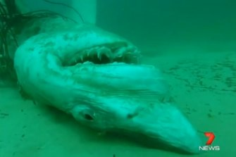 Two great white sharks were found trapped in nets off Bondi Beach over three days in November 2014.