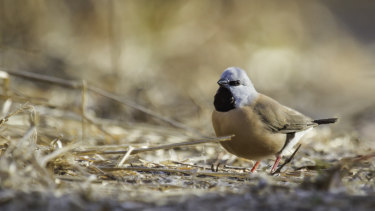 A Black-Throated Finch at Adani's proposed Carmichael Mine site in Queensland's Galilee Basin.