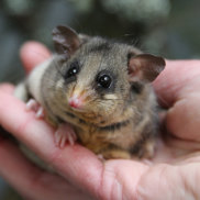 Mountain pygmy-possums weigh just 40 grams when they awake from months of hibernation.
