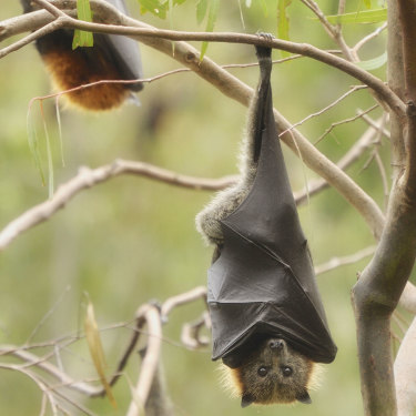 A bat rests in Yarra Bend Park, Melbourne.