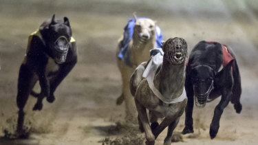 Dogs continue to be seriously injured, but the greyhound industry has government support.