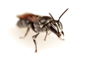 The Australian native bee Pharohylaeus lactiferus had not been sighted for nearly 100 years and was thought to be extinct, until one landed in front of the researcher looking for them.