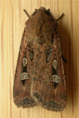 The Bogong Moth, which Australians are encouraged to monitor through a new app released by Zoos Victoria.