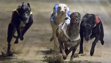 Prohibited substances in five samples from greyhounds when they raced in Brisbane, Capalaba and Ipswich in October and November last year.