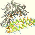 An image from Foldit. The coronavirus spike is shown (in grey) binding to the human receptor protein (in colour)
